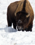 Bison Grazing in Snow