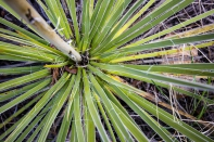 Yucca leaves