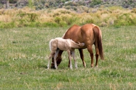Nursing foal (domestic)