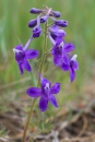 Larkspur in May near Billings