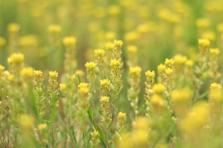 Unidentified yellow flowers in late April at Weatherman Draw [Please help identify this flower by posting to comments]