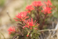 Indian Paintbrush in April at Weatherman Draw