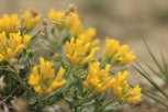 Unidentified yellow flowers in early April at Weatherman Draw [Please help identify this flower by posting to comments]