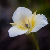Mariposa Lily in July, Glacier NP
